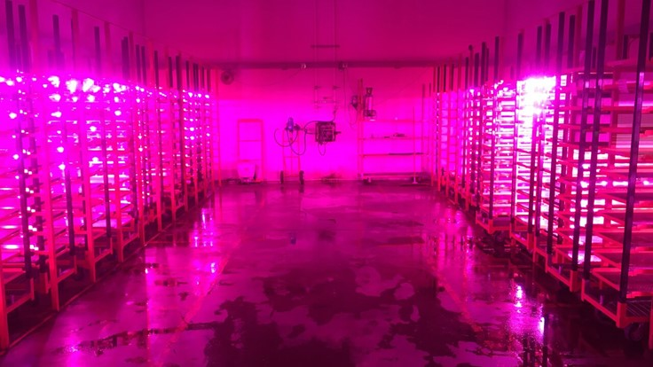 How one grower uses LEDs to improve propagation