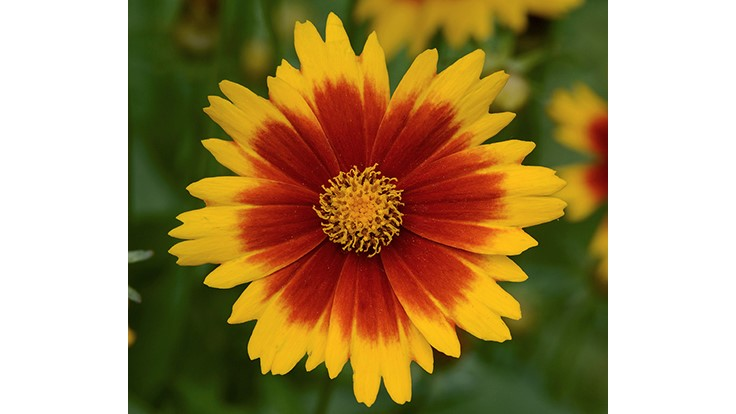 UpTick coreopsis wins best new plant award at U.K. Four Oaks tradeshow
