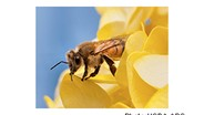 USDA-ARS Research: Honey Bee Diseases Can Strike in All Seasons