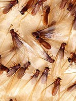 Formosan Termites Emerging in New Orleans