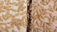 Researchers Examining What 'Wood' a Termite Prefers