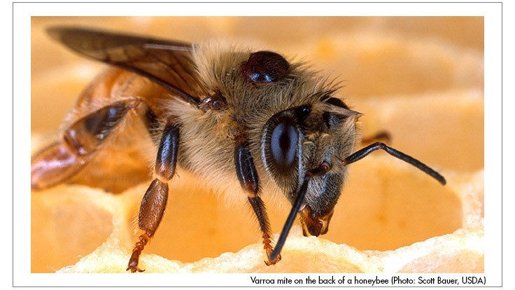 UM Research: Varroa Mite Infestations Worse Than Previously Thought