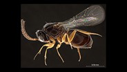 USDA Offers Online Wasp ID Guide