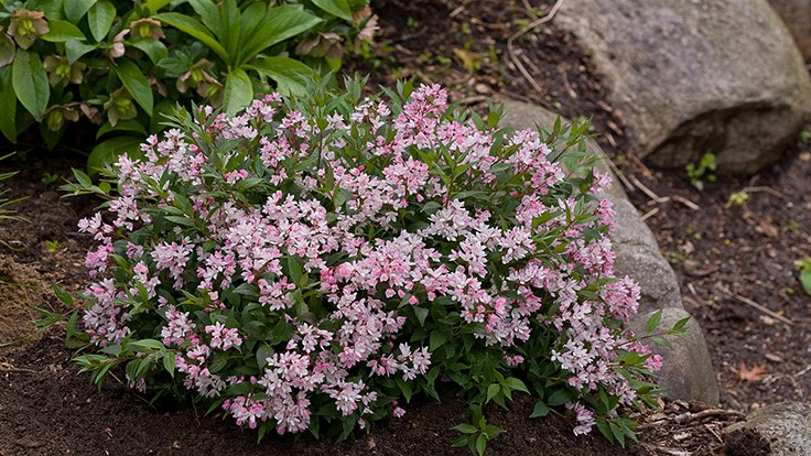 Yuki Cherry Blossom Deutzia named 2017 Plant of the Year