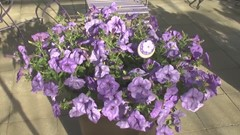 Bringing scent back to petunias