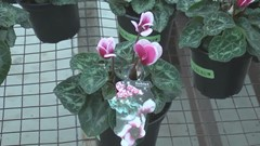 A cyclamen for North America