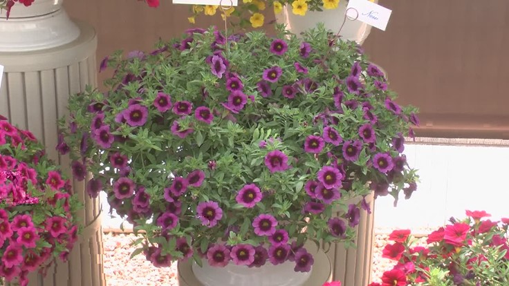 A 'delicious' calibrachoa