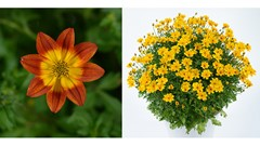 Amore Petunia, Bidens Blazing Glory and more [video]