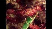 Why Leafcutter Ants Do Underground