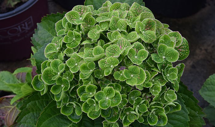 Hydrangea macrophylla 'Greenmantle'