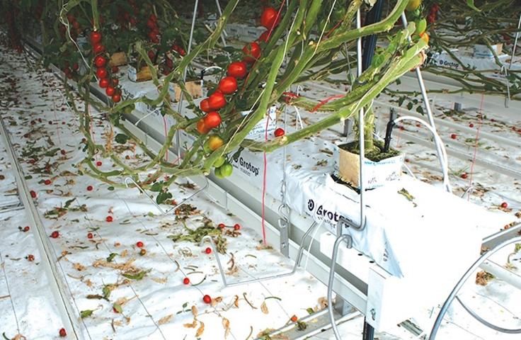 /hydroponic-production-primer-guide-tomatoes-101.aspx