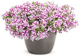 Supertunia® Lovie Dovie Petunia