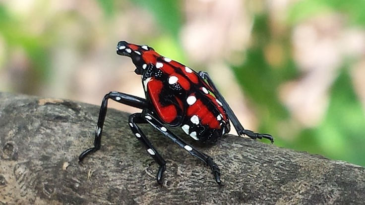 USDA awards $17.5 million to fight spotted lanternfly