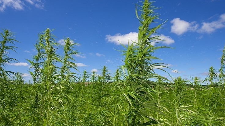 Senate Majority Leader Mitch McConnell to Introduce Bill Legalizing Industrial Hemp