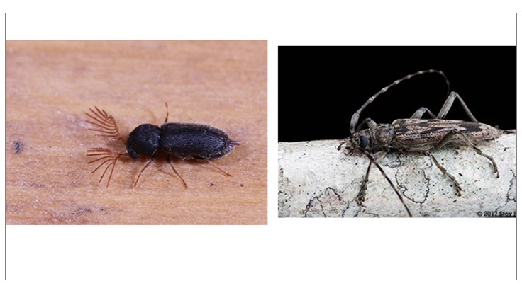 Stoy Hedges Seeking Live Wood-Infesting Beetle Specimens