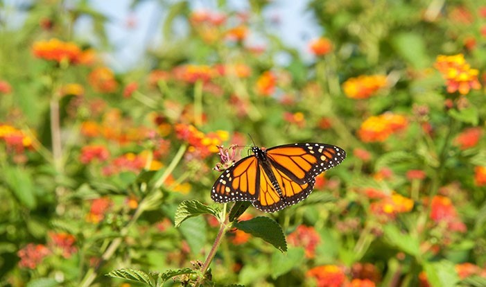 Monarchs in the Rough experiencing fast start
