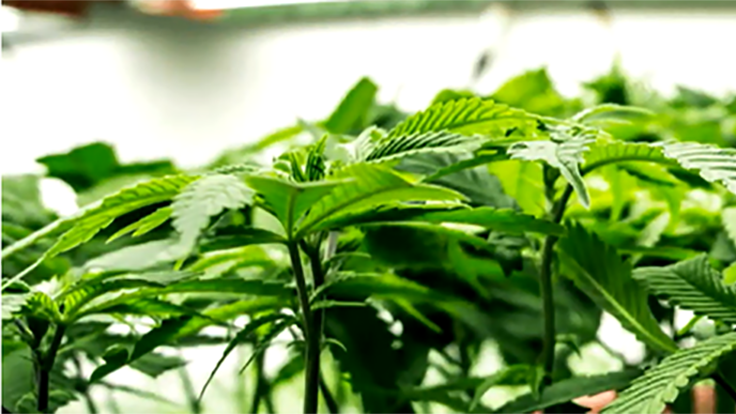 FV Pharma Wants to Be the World's Largest Cannabis Cultivation Operation