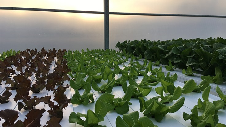 How-to: Hydroponic lettuce and leafy greens basics