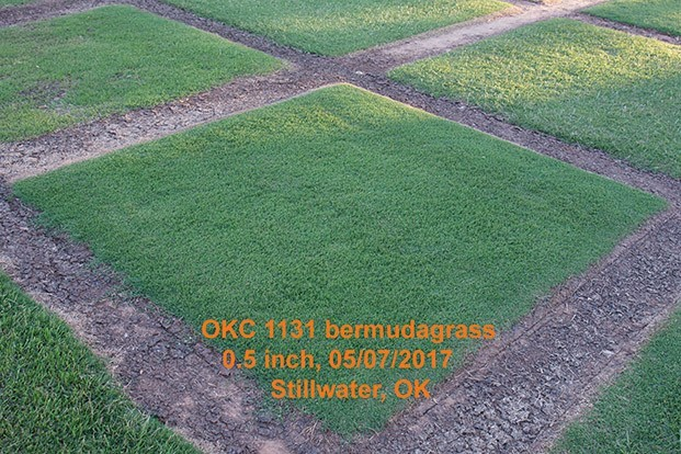 Oklahoma State University names Sod Production Services licensing agent for new Bermudagrass variety