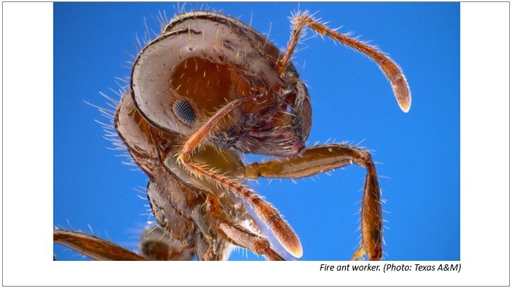 Texas A&M Helping South Korea Control Fire Ant Invasion