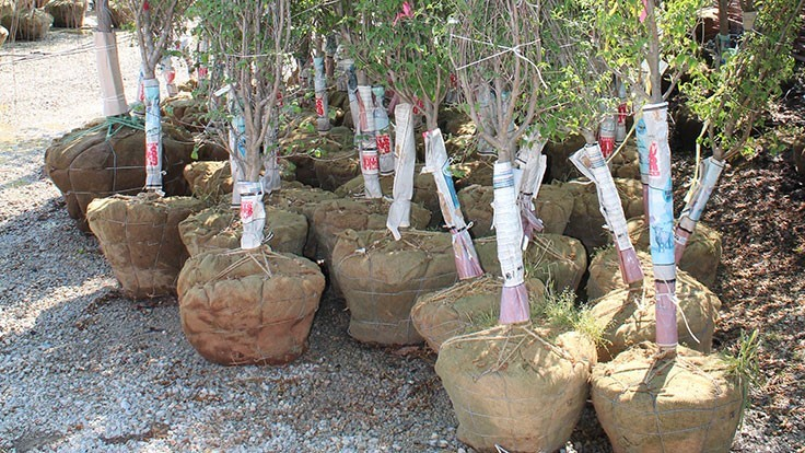 How to plant B&B trees