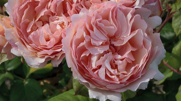 Winners announced at 2018 Biltmore International Rose Trials