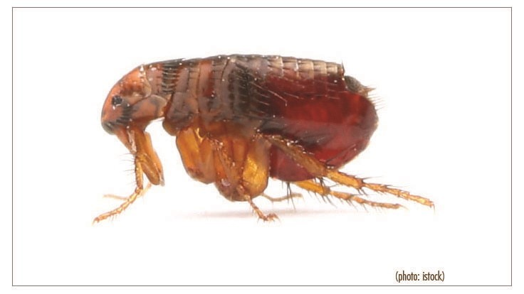 Flea-Borne Typhus Spreading Throughout Los Angeles