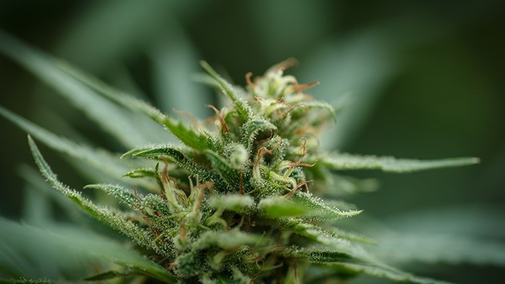 Legalize ND Poll Shows 51 Percent Favor Recreational Marijuana, but Opponents Doubt Numbers