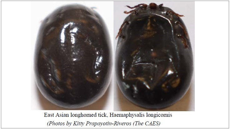 Connecticut Reports First Person Bitten by East Asian Longhorned Tick