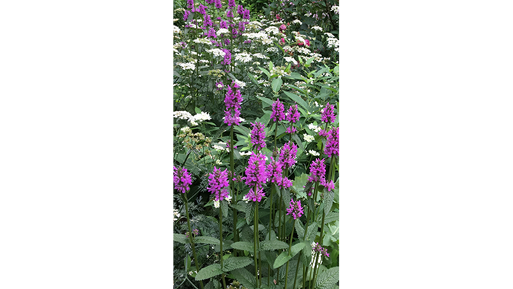 Stachys 'Hummelo' named 2019 Perennial Plant of the Year