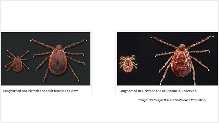 Asian Longhorned Ticks Found in New Hampshire
