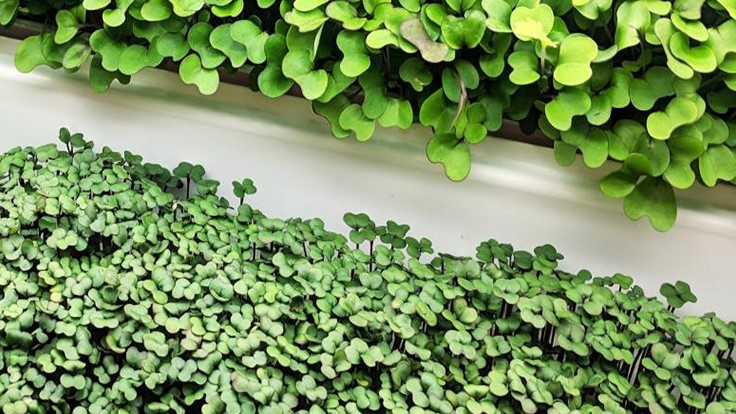 How-to: microgreen growing