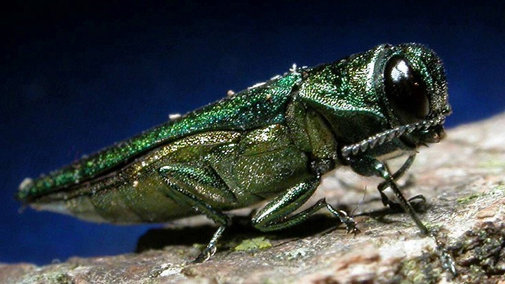 USDA debuts emerald ash borer interactive map
