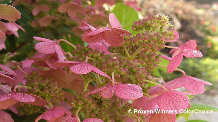 American Society of Cut Flower Growers names Quick Fire hydrangea among its 2019 Cut Flowers of the Year