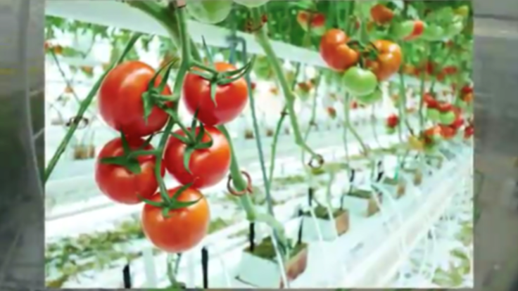 An entire greenhouse tomato harvest in under two minutes