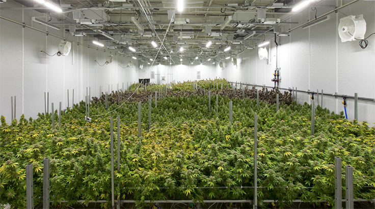 Calyx Peak Companies Conducts Akron's First Medical Marijuana Harvest
