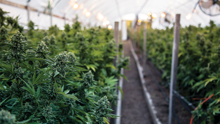 Cannabis Greenhouse Developer Files Bankruptcy
