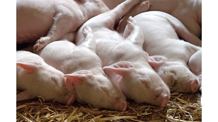 Pork Industry Seeking to Improve Swine Herd Health and Survivability