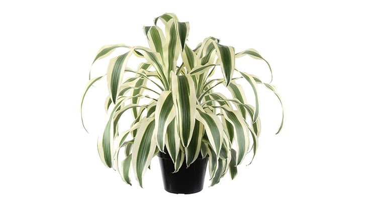 Dracaena 'White Aspen' named best new plant at TPIE