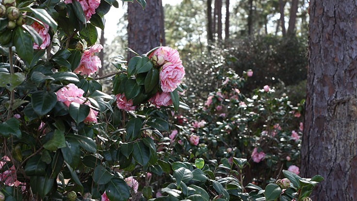 Cool Planet aids UF camellia transplant project