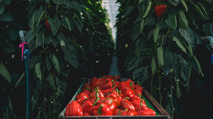 NatureFresh Farms expands organic pepper production
