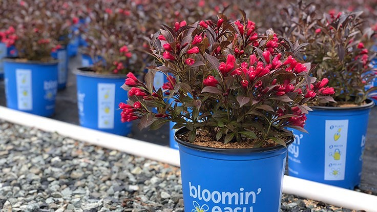 Electric Love weigela named Plant of the Year at Canada Blooms