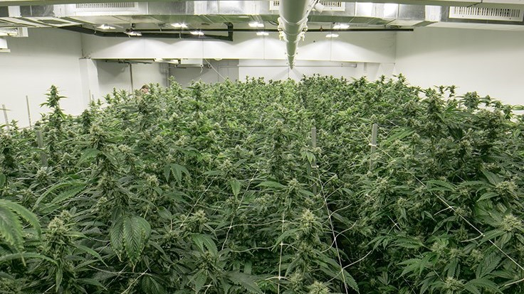 Tips to Master Large-Scale Cannabis Cultivation: Q&A with Ryan Douglas