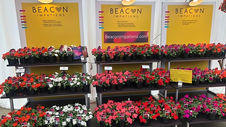 PanAmerican Seed officially debuts downy mildew resistant Impatiens walleriana
