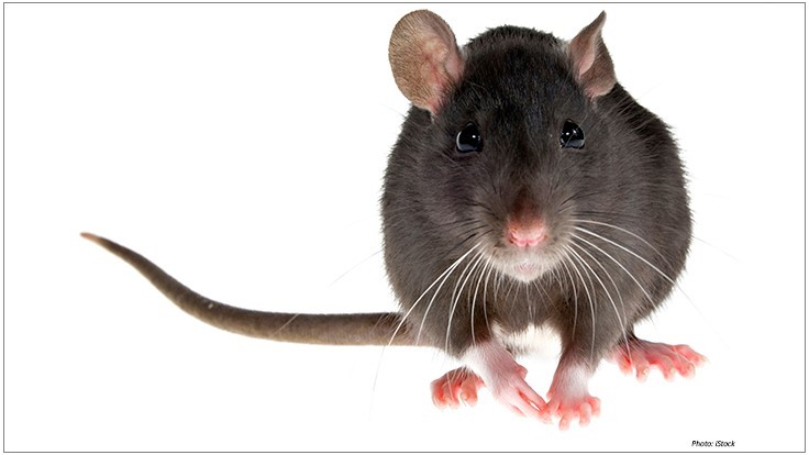 Rodent Fertility Control: What It Is and Why It's Important