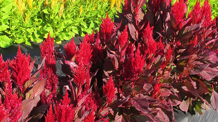 Benary's New Look celosia recognized by Texas A&M and Texas Tech