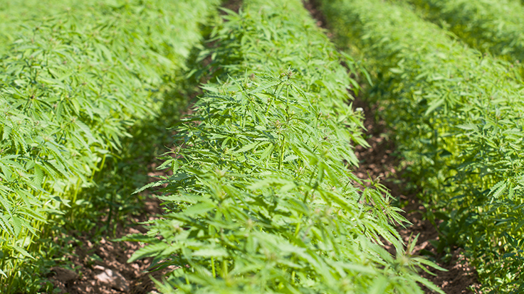 Green Point Research, UF/IFAS announce industrial hemp pilot program