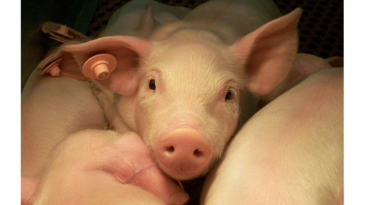 Antibiotic Alternative Scores Well in Second Round of Swine Trials