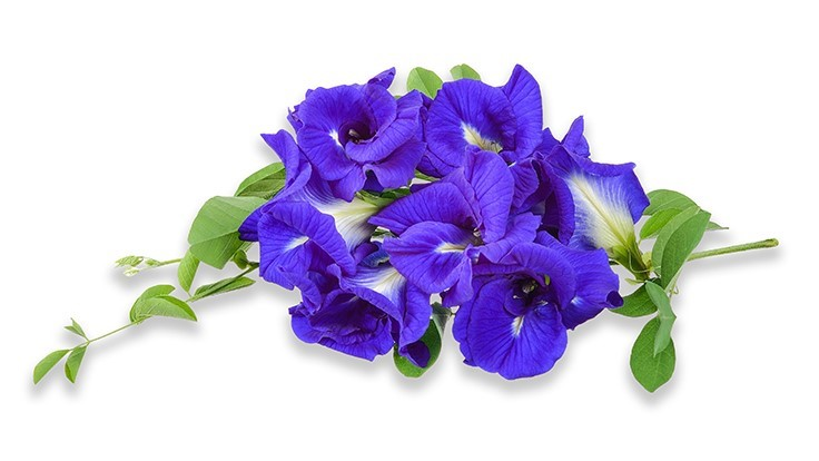 University of Florida eyes Butterfly Pea for ornamental sales, natural food-color source