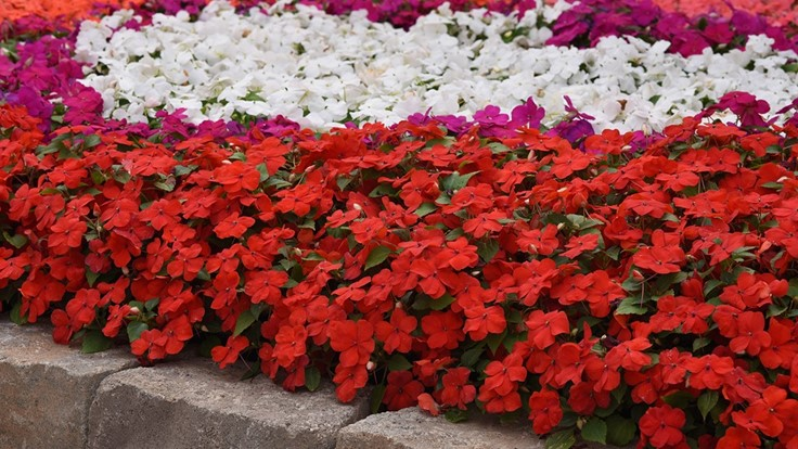 U.S. utility patent granted for Beacon Impatiens